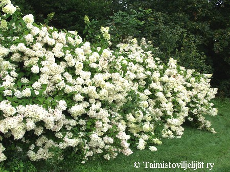 hydrangea paniculata 39 grandiflora 39 syyshortensia. Black Bedroom Furniture Sets. Home Design Ideas